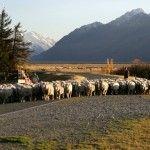 Glentanner Station Mount Cook New Zealand