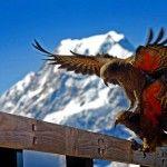 Keas Mt Cook Winner Mount Cook Photo Comp